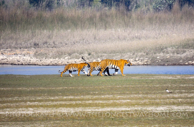 Royal Bengal Tiger mother and two cubs in Bardia National Park