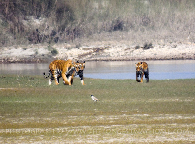 Three Royal Bengal Tigers in Nepal