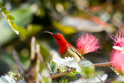 Male sunbird spotted on a Jungle safari