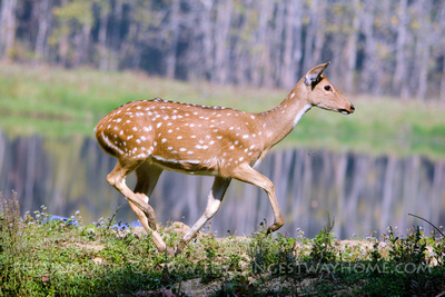 Spotted deer on a Jungle safari