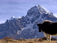 yak staring the Kangtega and Thamserku mountains on the way to Everest Base Camp