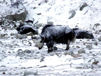 Yaks covered in snow