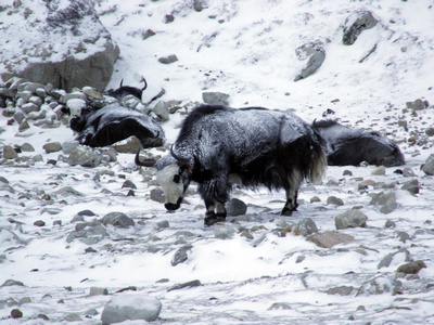 Yak in the snow at Christmas in Nepal