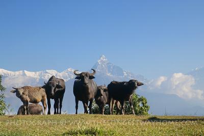 Buffalos under the mountains at Panchase
