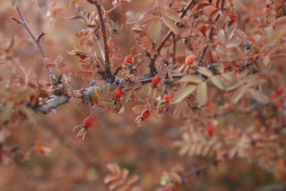 Close up of thorn bush in Upper Mustang