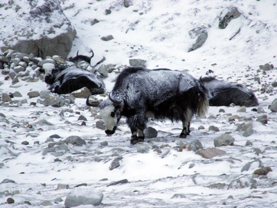 Yak in the winter snow at Everest Base Camp
