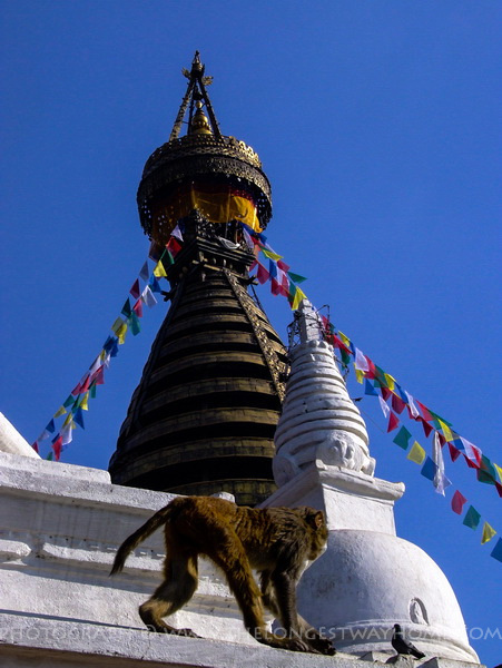 Photograph of a Monkey walking along Swayambhunath Monkey Temple