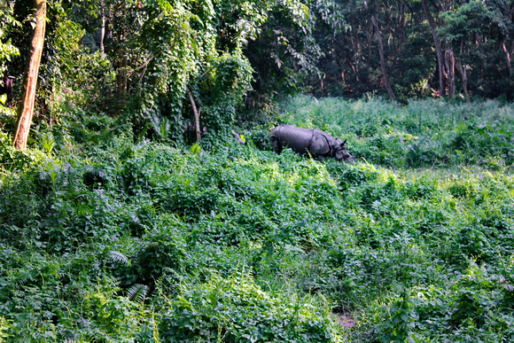 One-horned rhino coming out of the jungle in Chitwan