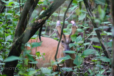 Indian Muntjac Deer in Chitwan