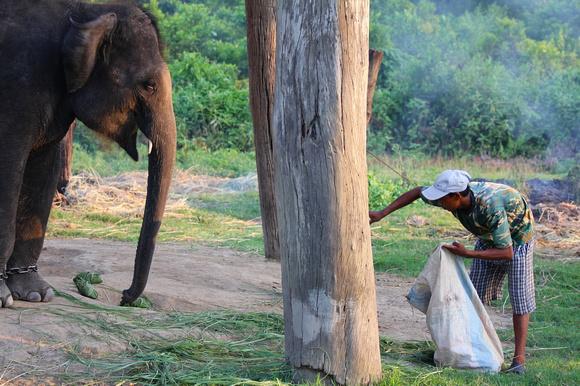A mahout trainer feeds his elephant at Sauraha elephant breeding center