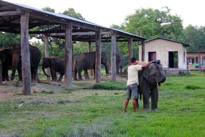 Mahoot prepares an elephant calf for riding
