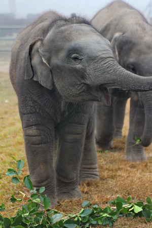 Baby elephants in Chitwan