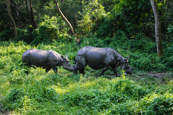 Two one-horned rhinos walking through the Chitwan jungle