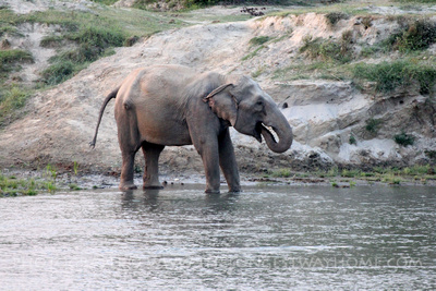Wild Elephant in river at Bardia