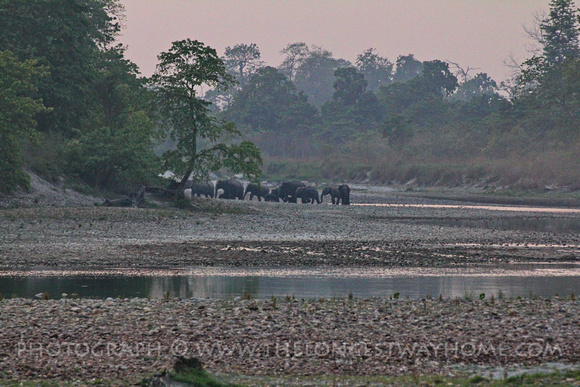 Wild elephants in Bardia crossing the river at sunset
