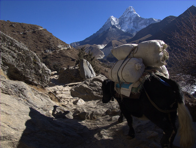 Yak and mountains in Nepal