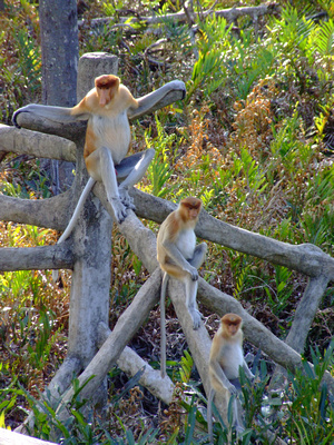 Alpha male proboscis monkey and his many wives