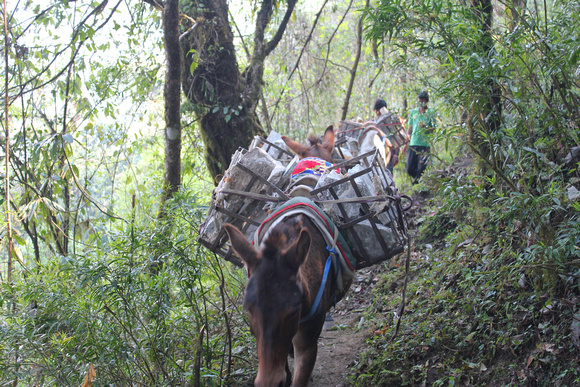 Mules carrying supplies to Forest Camp