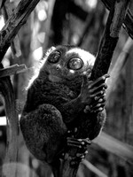 Philippine Tarsier in a ray of light