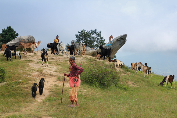 Goats on a hike near Dhulikhel