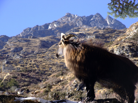 Himalayan Tahr on the mountains of Nepal