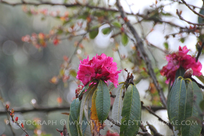 Rhododendrons blooming in March which is Spring in Nepal