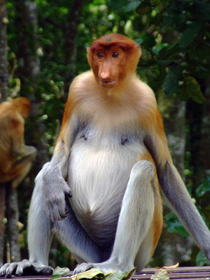 Proboscis monkey with a big stomach