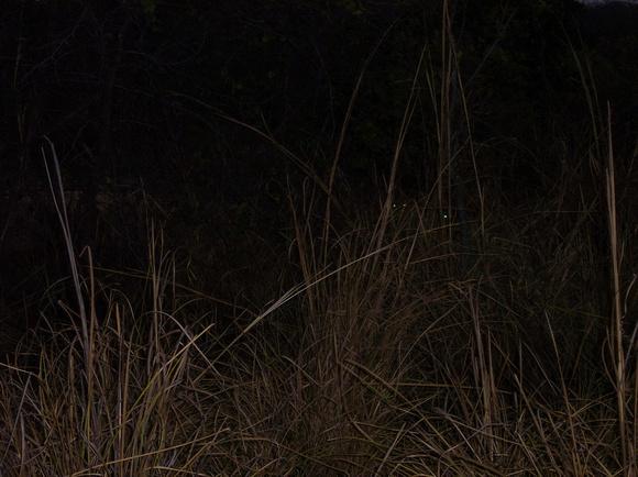 Lions at night peeking out of the bush