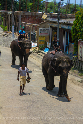 Elephants walking in Suraha town