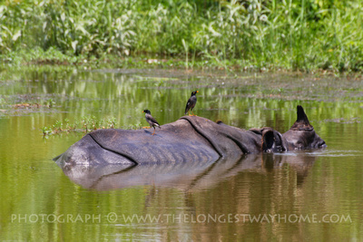 Rhinoceros bathing in Chitwan's river