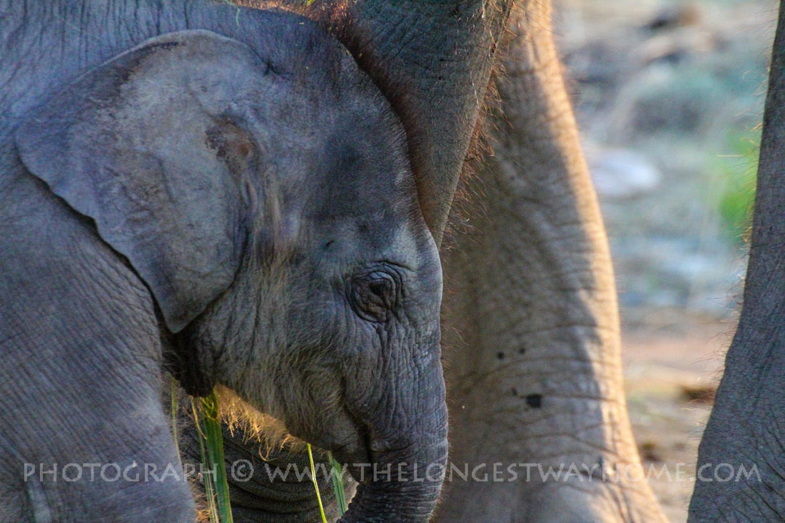 Baby Elephant from Chitwan up close