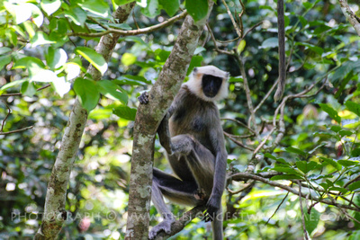 White-headed Capuchin Monkey in Chitwan