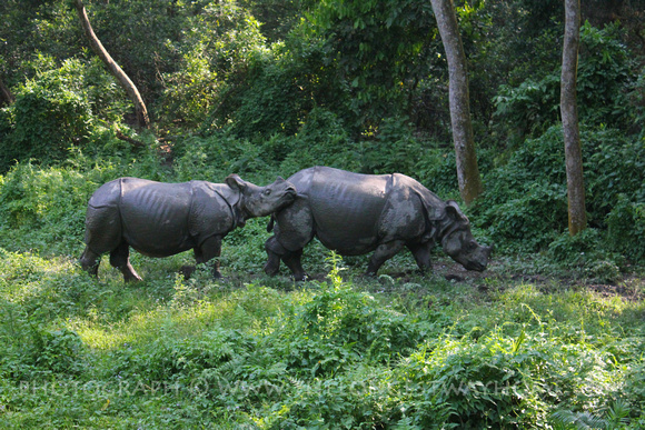 Rhinos at Chitwan National Park