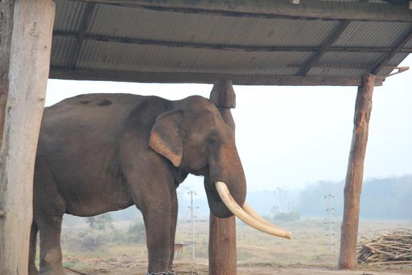 Tusker elephant in Chitwan National Park