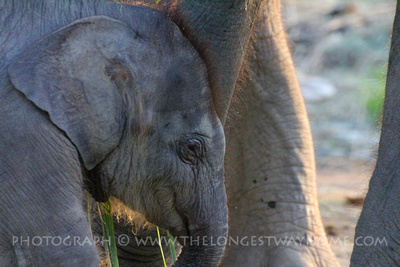 Baby Elephant in Chitwan