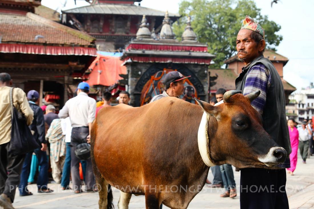 Cow and owner at Gai Jatra in Kathmandu