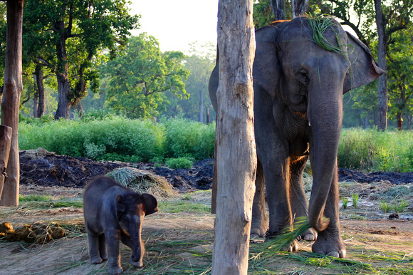 Baby elephant and mother at the Elephant breeding center in Chitwan