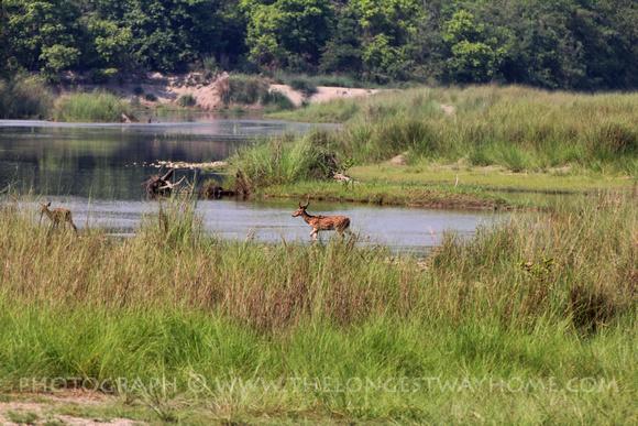 Musk deer in Bardia
