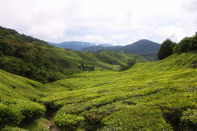 Walking out into the tea plantations in the Cameron Highlands Malaysia
