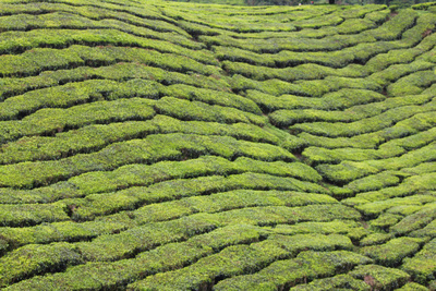 Rolling waves of green tea plantation hills