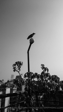 Crow waiting to be fed during Tihar