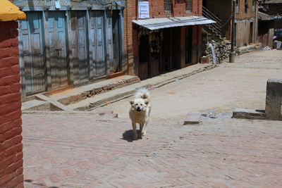 This is local dog in Panauti barking