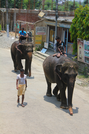 Elephants walking in Sauraha Nepal