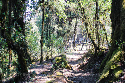 Trekking through forest on the Mardi Himal trek