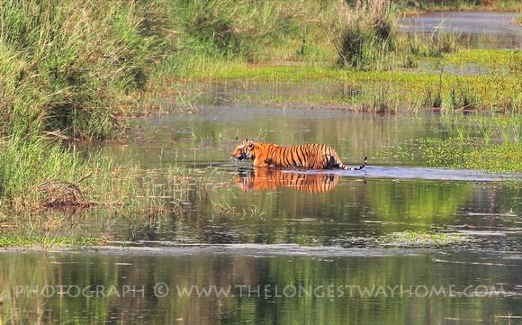 A Royal Bengal Tiger in Bardia National Park