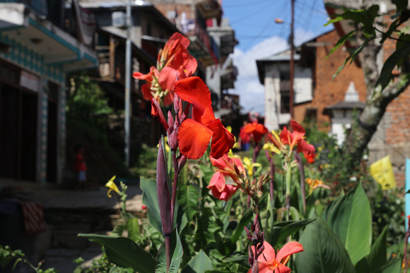 Colorful flowers bloom throughout the monsoon season in Nepal
