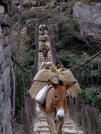 Mules on a suspension bridge along the Annapurna Circuit