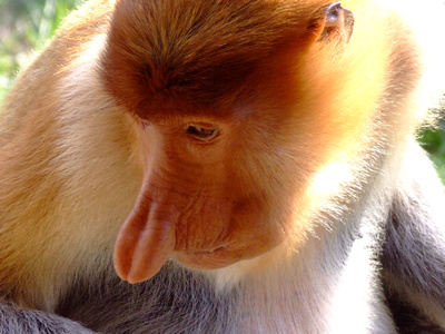 Close up of Proboscis Monkey Nose