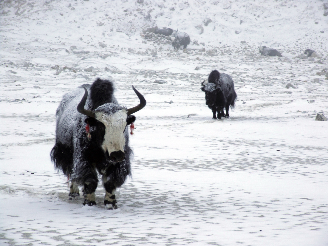 Yaks in winter snow at Everest Base Camp in Nepal