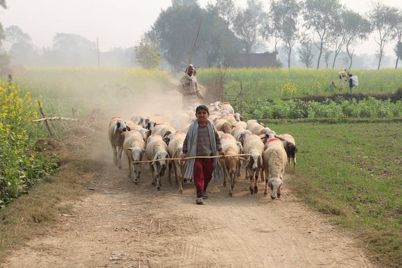 Sheep crossing in Lumbini